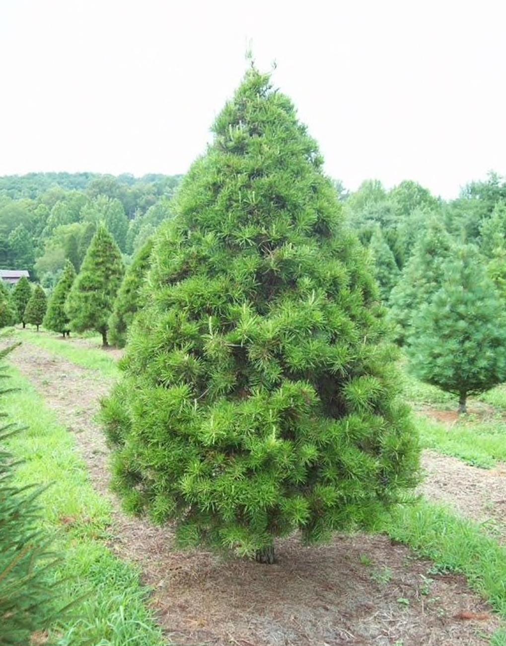 Lexington, SC Virginia Pine