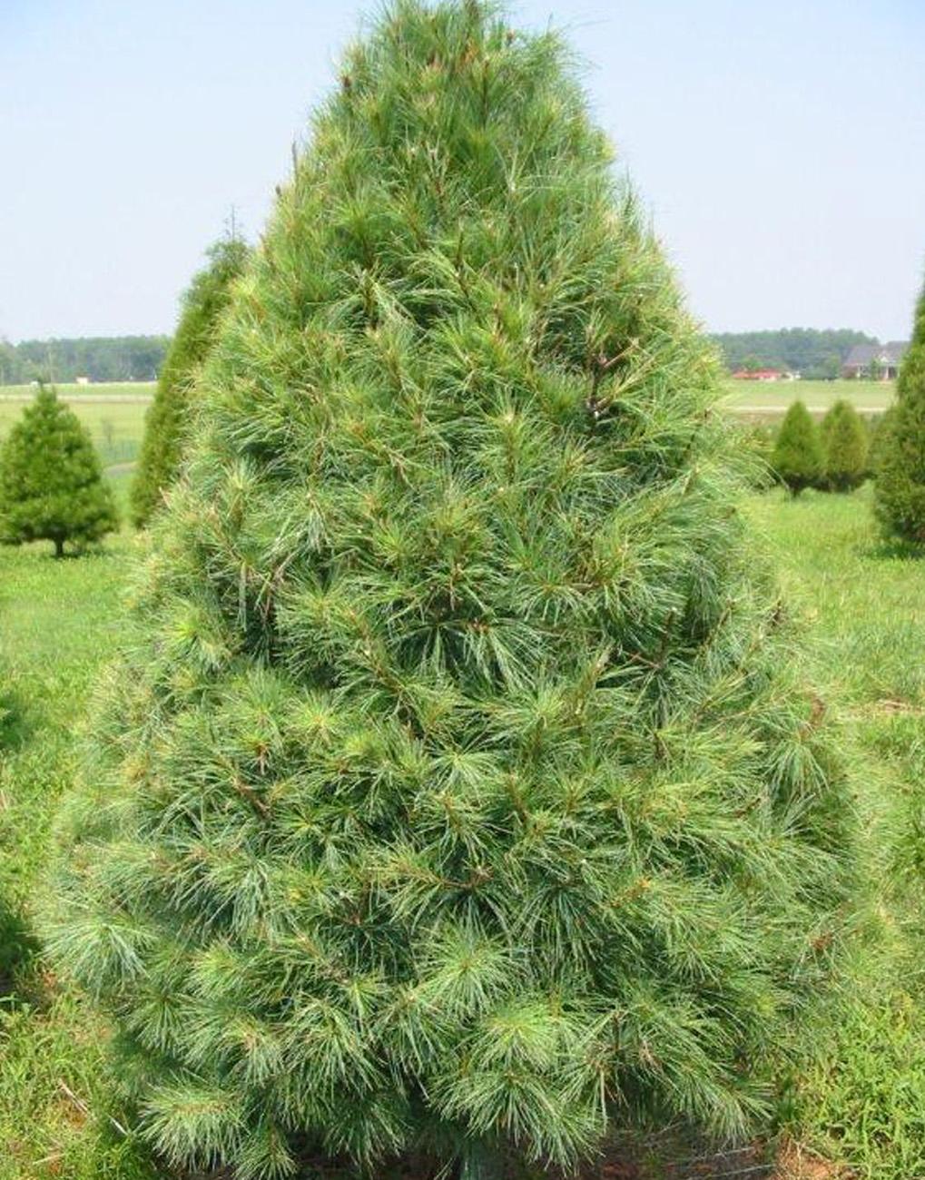 Lexington, SC White Pine